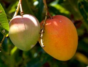 Mangifera indica - Mango Tree 12