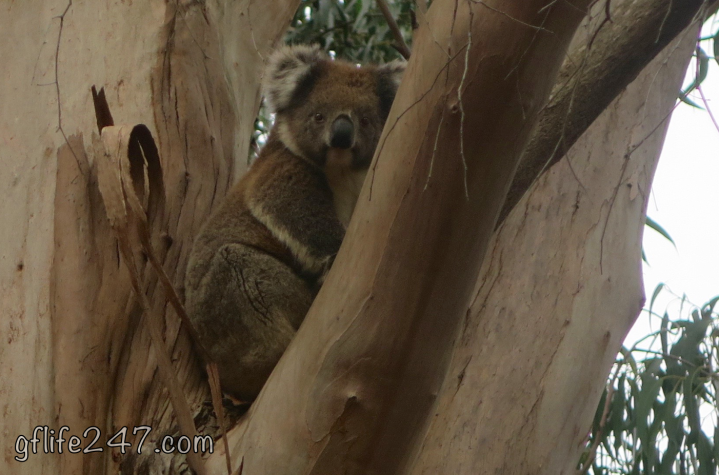 koala kangaroo island sanctuary