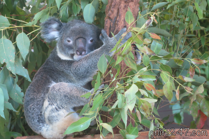 koala sanctuary brisbane