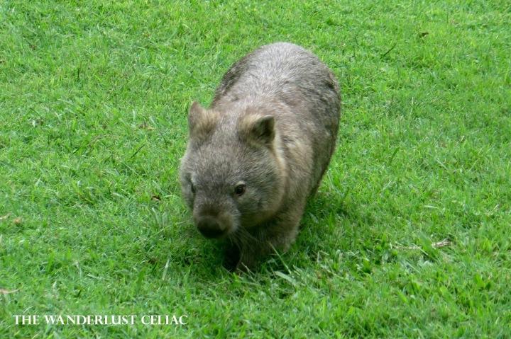 wombat aussie