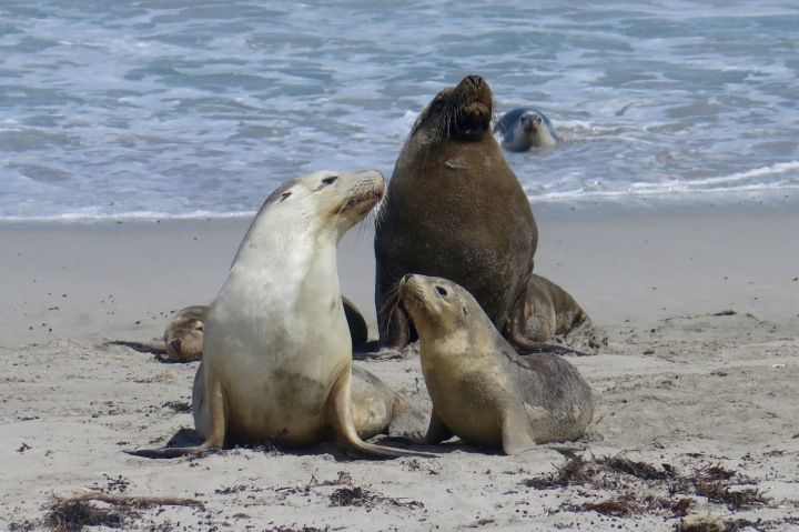 Australian Sea Lion Family (Kangaroo Island)